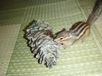 松笠を運ぶココ
