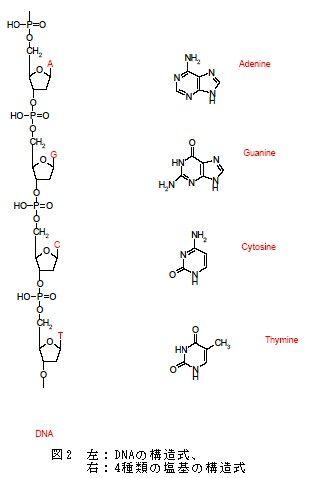 DNAの構造式