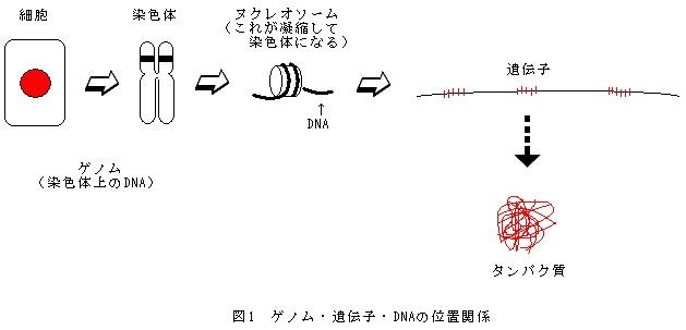 ゲノム・遺伝子・DNAの位置関係