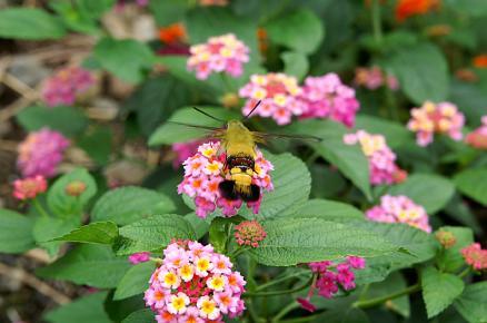 ランタナとハチ