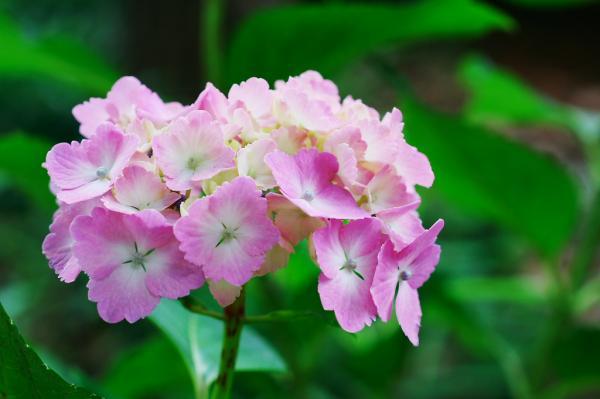 ピンクのアジサイ01