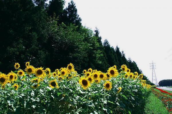 向日葵の道