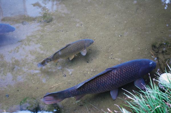 カンスケ井戸の鯉