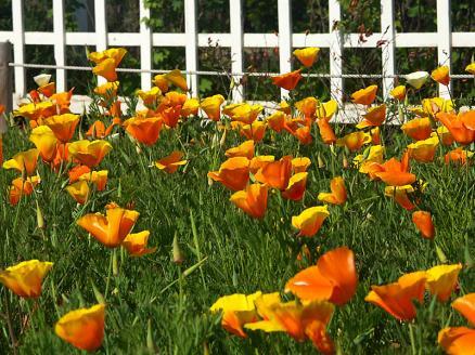 風と花菱草
