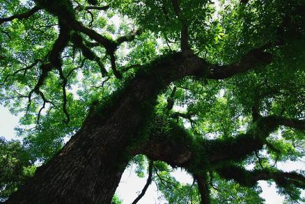 浅間神社の古木