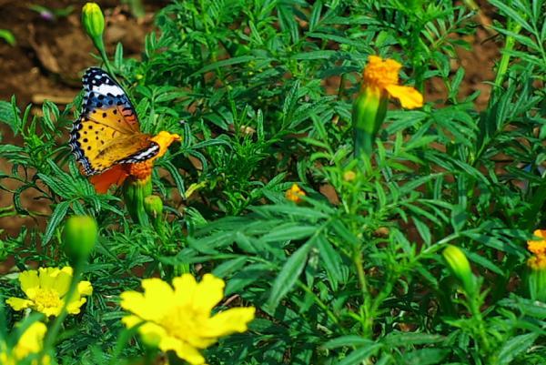 ツマグロヒョウモンの雌