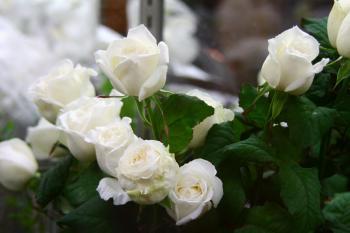 とある写真家の花物語 043s