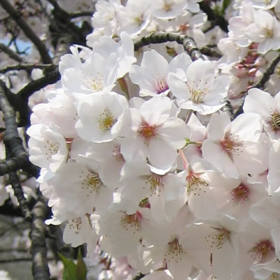 京都・鴨川の桜写真です。