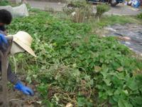 2009芋掘り1