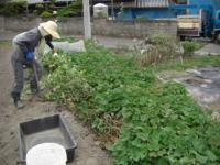 2009芋掘り2