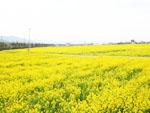 黄色の絨毯みたい