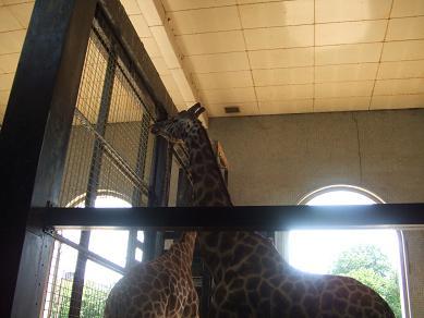 giraffe21072006.jpg
