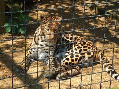 lepard11052006.jpg
