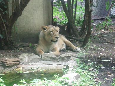 lion21072006.jpg