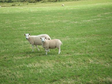 sheep23082006.jpg