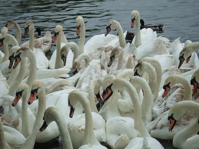 swan06052006.jpg