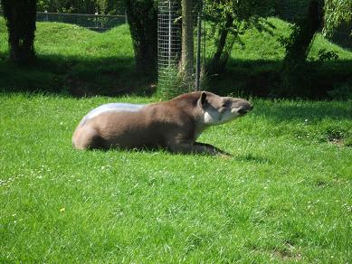 tapir11052006.jpg