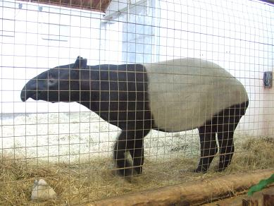 tapir21072006.jpg
