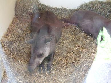 tapirsleeping11052006.jpg