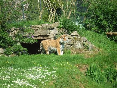 tiger11052006.jpg