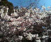 UCBの桜