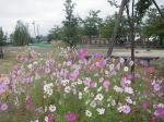 豊科南部運動公園のコスモス