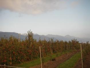 リンゴ畑と北アルプス