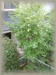 シャラの木