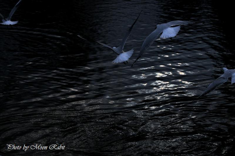 カモメの飛行 西条高校前の堀端にて 2007.12.30