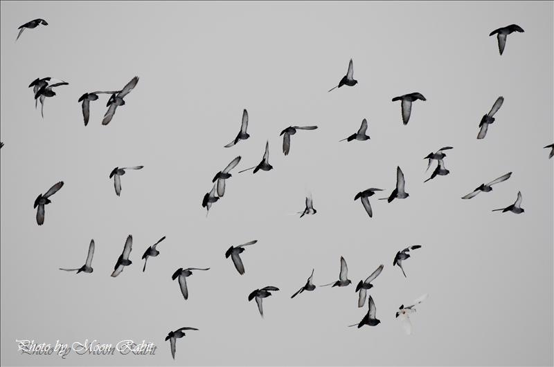 雪中を舞う鳩の群れ 西条市神戸中西にて 2008.01.21