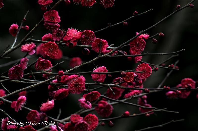 梅 市民の森梅林園の「梅まつり」にて その2/2 2008.02.17