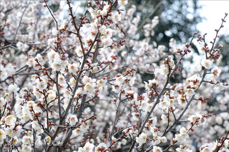 桜井梅林公園 今治市志島ヶ原 2008.02.21