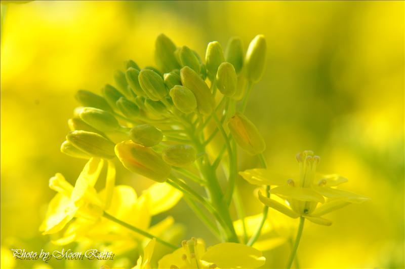 菜の花 西条市丹原町池田にて 2008.03.21
