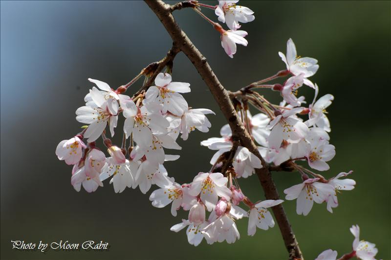 武丈公園のシダレザクラ(枝垂桜) 西条市加茂川河畔 2008.03.28