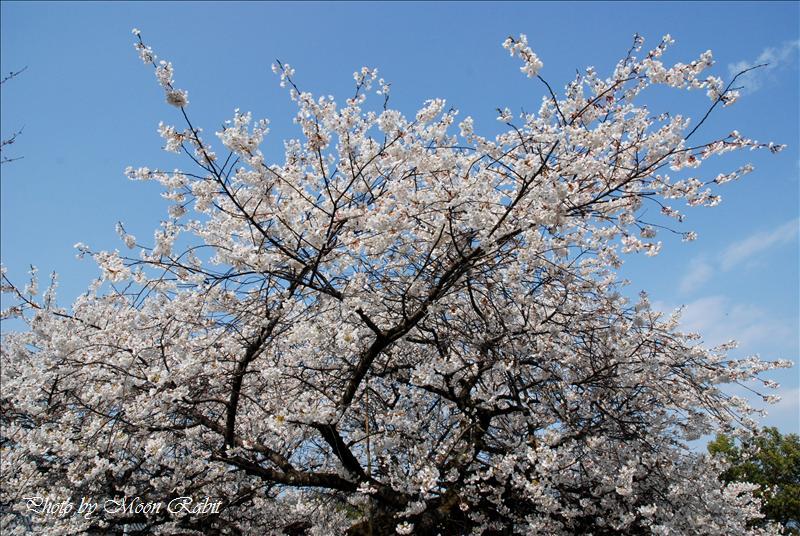 実報寺(實報寺)の一樹桜(一木桜 ひときさくら) 西条市実報寺 2008.04.01