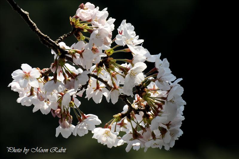 西山興隆寺(にしやまこうりゅうじ)の桜 西条市古田 2008.04.03