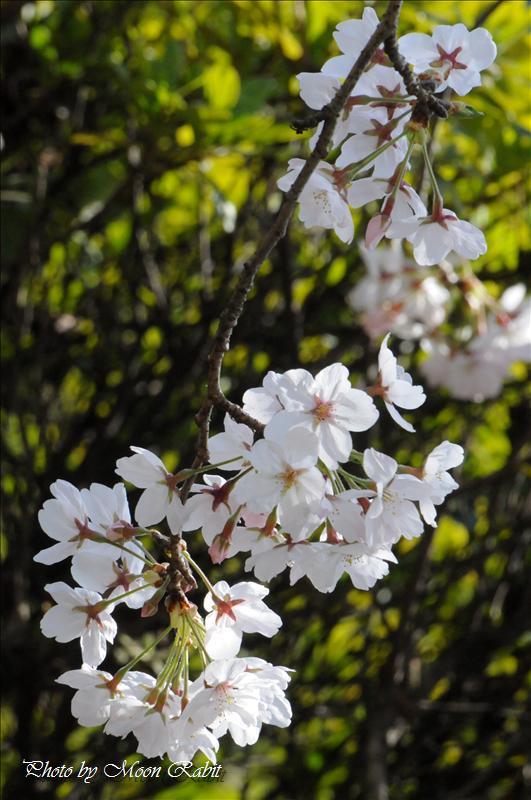 神戸公園運動広場周辺の桜 西条市中野 2008.04.04