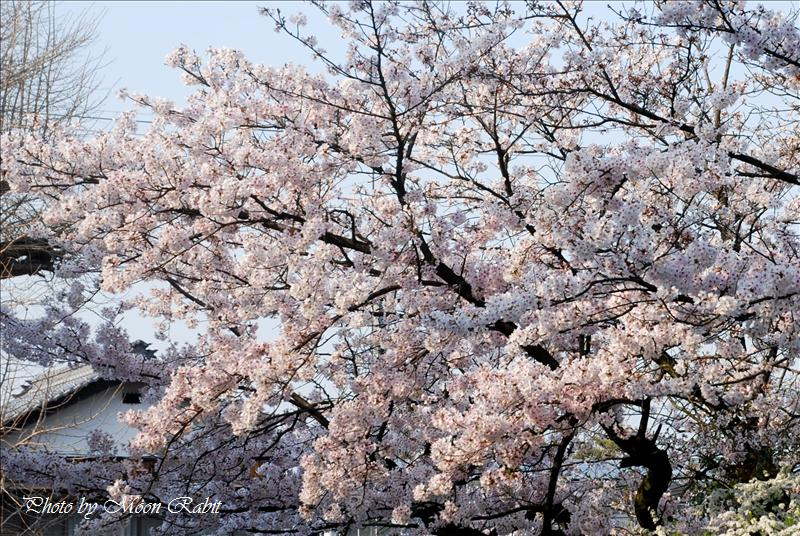 吉祥寺の桜とお遍路さん 西条市氷見 2008.04.06