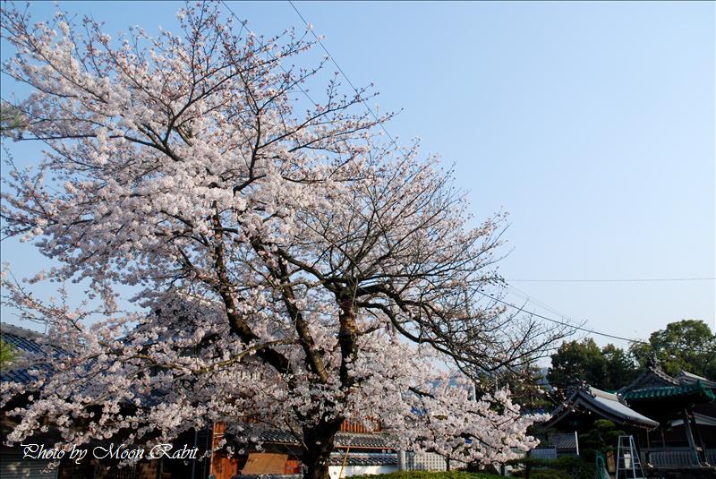 覚法寺の一本桜・小松藩移築門 西条市氷見 2008.04.06