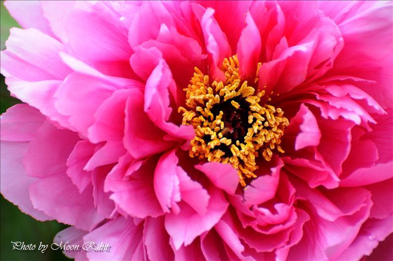法安寺の千本牡丹(ボタン)とぼたん祭り 西条市小松町北川 2008.04.13