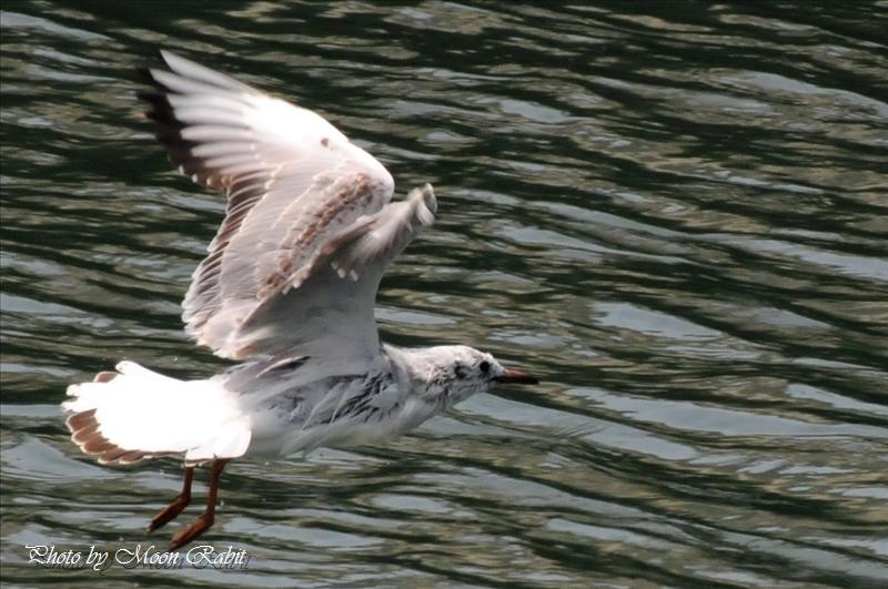 カモメ(鴎)の飛翔 西条市北浜南にて 2008.05.15