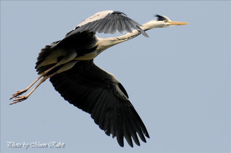 アオサギ(青鷺)の飛翔 西条市港新地 2008.05.16