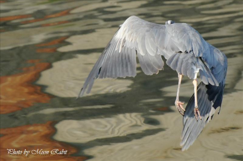 アオサギ(青鷺)の飛翔 西条市北浜南 2008.05.20