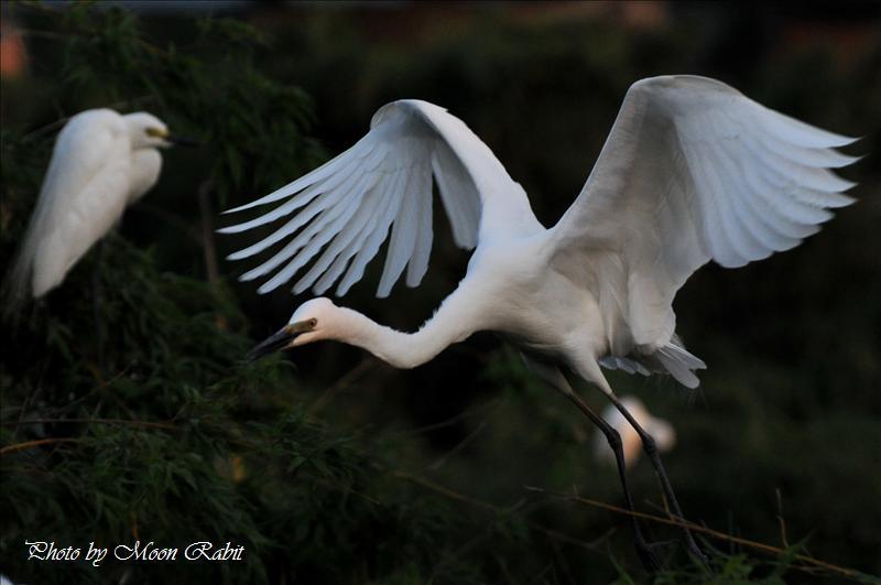 チュウダイサギ(中大鷺)の飛翔 西条市小松町新屋敷 中山川大橋にて 2008.05.25
