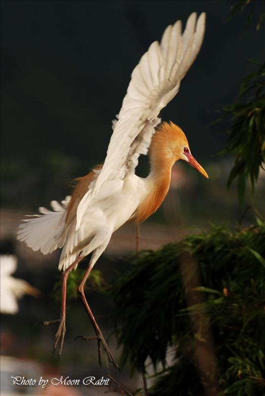 アマサギ(亜麻鷺、黄毛鷺、猩々鷺:学名Bubulcus ibis) 西条市小松町新屋敷 中山川大橋にて 2008.06.19