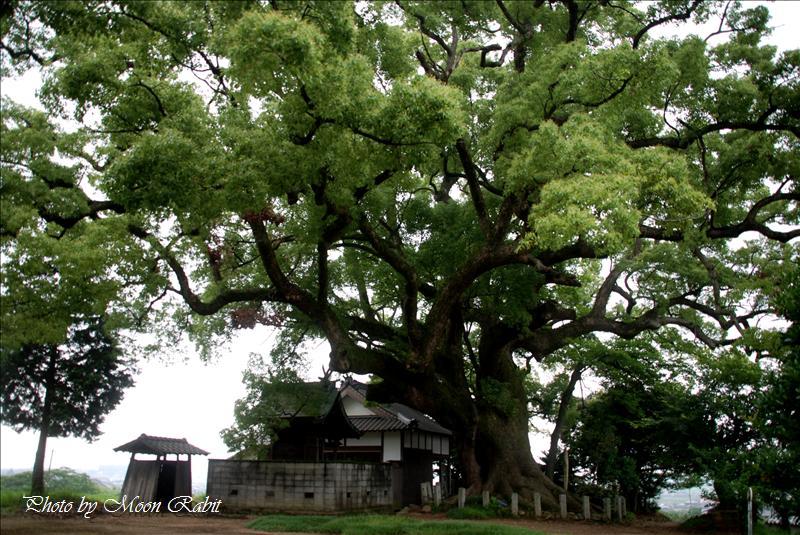 天満神社のクスノキ(楠)と坂元観音堂 西条市坂元 2008.06.29