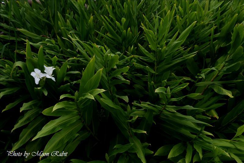 ジンジャー(Ginger) 別名:ジンジャー・リリー(ginger lily)、バタフライリリー(Garland lily)、ハナシュクシャ(花縮紗)  西条市神戸 伊曽乃神社近くにて 2008.09.01