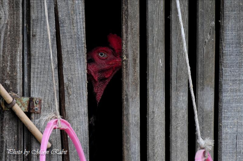 ニワトリ(鶏) 西条市神戸 伊曽乃神社近くにて 2008.08.01