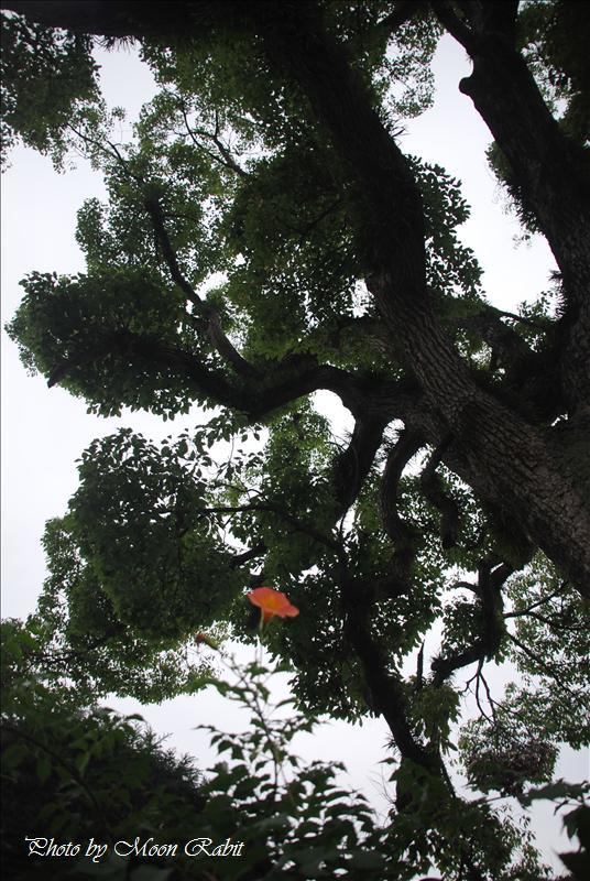 ノウゼンカズラ(凌霄花) 西条市神戸 伊曽乃神社近くにて 2008.08.02