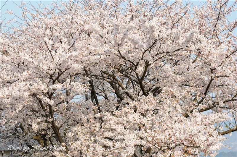 石岡神社・お旅所・伊予氷見駅 石岡神社祭り(祭礼・例大祭)と桜 2008.04.08